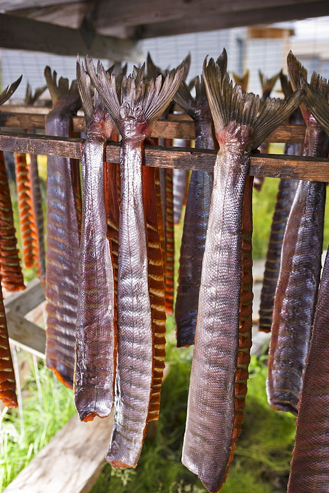 Strips Of Salmon With Tail Fins Attached, Hanging In A Drying Shed, Noatak, Alaska, United States Of America
