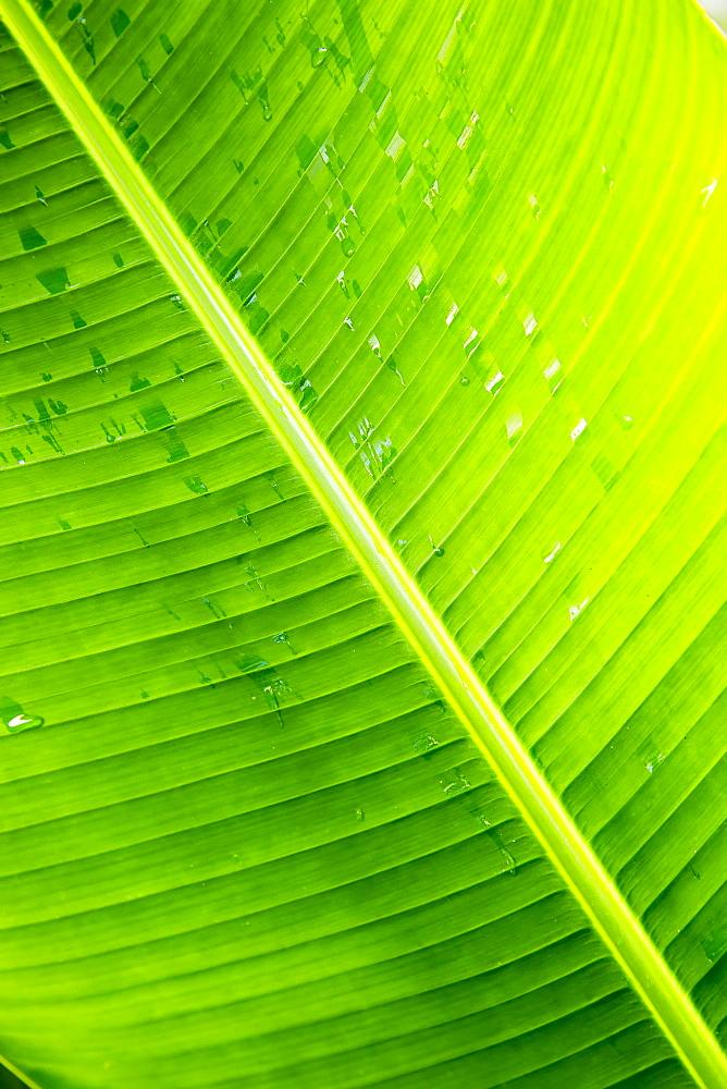 Palm Frond With Raindrops, Wailua, Kauai, Hawaii, United States Of America