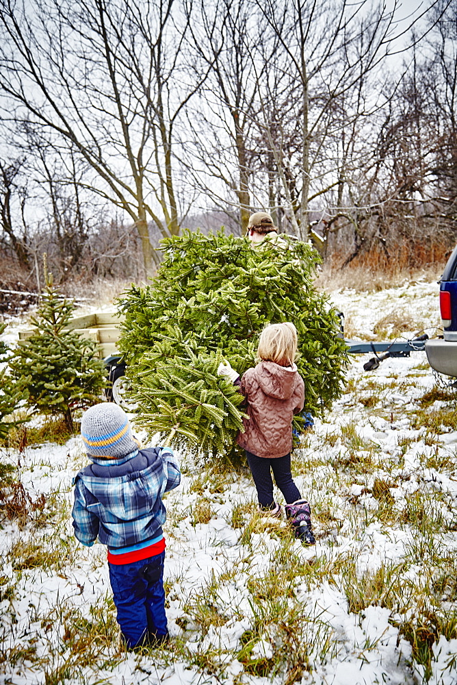 Father, Daughter And Son Carrying Cut Down Christmas Tree To Trailer From A Christmas Tree Farm, Stoney Creek, Ontario, Canada