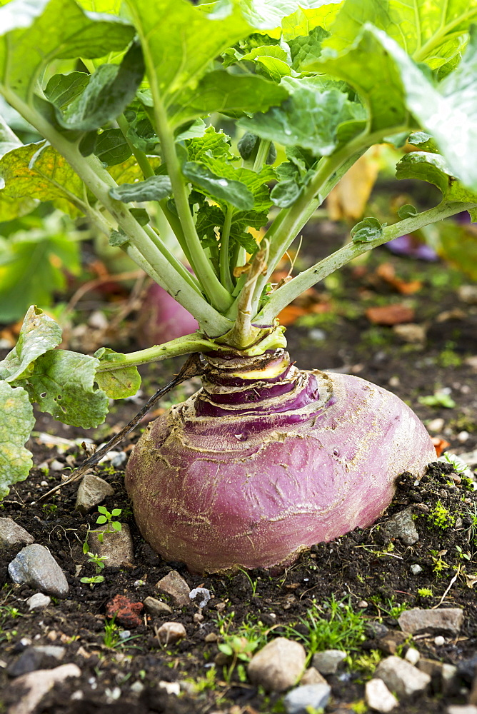Close Up Of A Purple Turnip Growing In The Soil, County Galway, Ireland