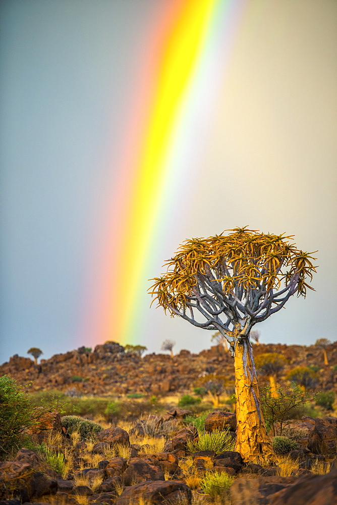 Quiver Tree (Aloe Dichotoma) Forest In The Playground Of The Giants With A Rainbow, Keetmanshoop, Namibia