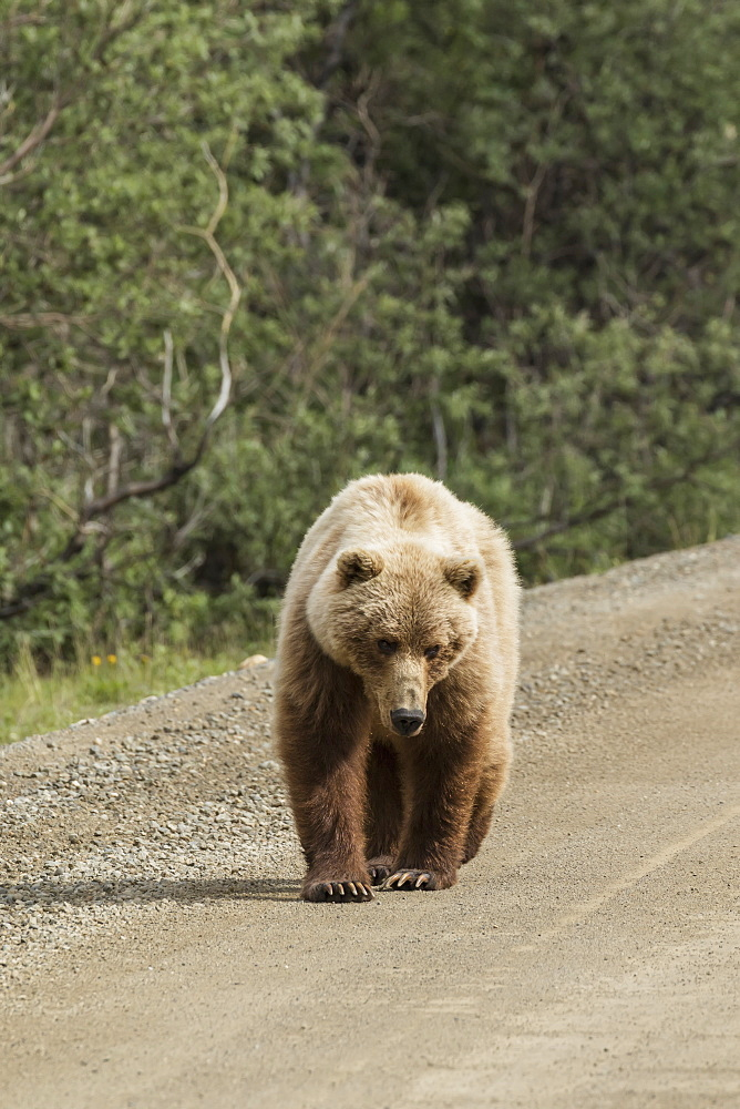 A Brown Bear (Ursus Arctos) Walks The Road In Denali National Park, Alaska, United States Of America
