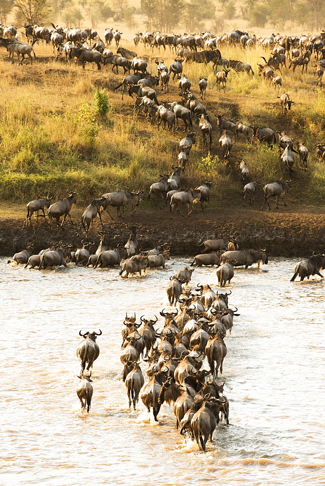 Large Group Of Wildebeest (Connochaetes Taurinus) Surges Across The Flooded Mara River In Serengeti National Park, Tanzania