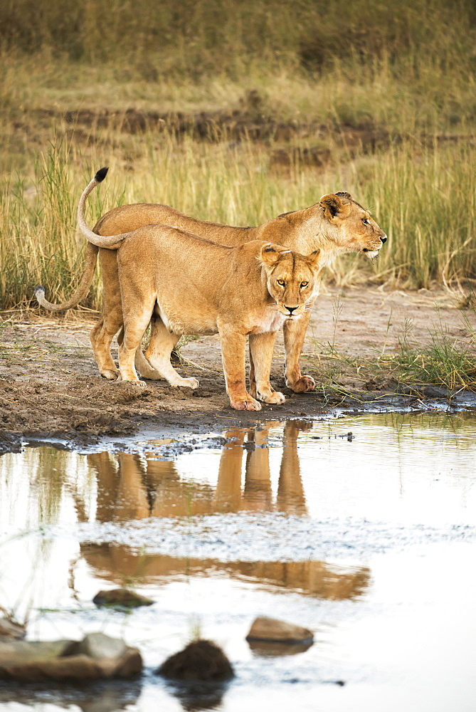 Two Lionesses (Panthera Leo) Reflected In Pool, Serengeti National Park, Tanzania