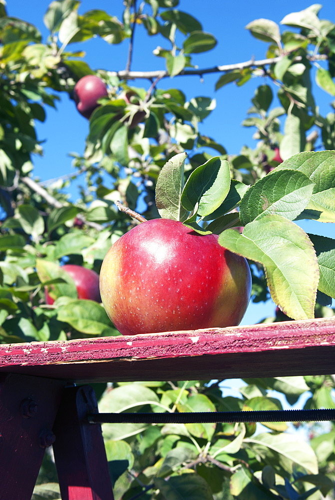 Macintosh Apple, Quebec, Canada
