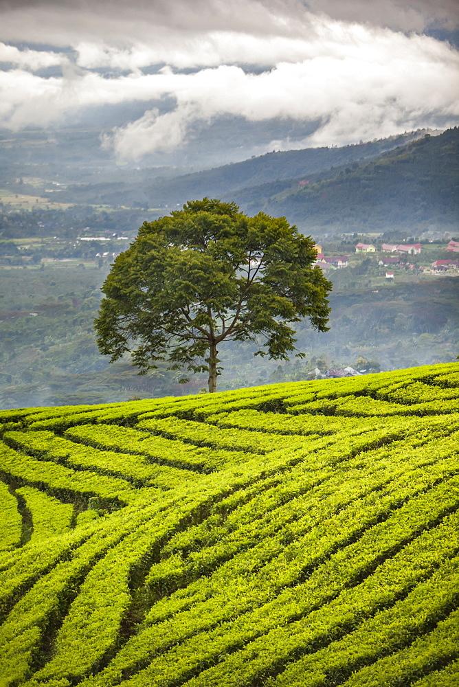A Tree Stands Alone On A Tropical Tea Plantation, Sumatra, Indonesia