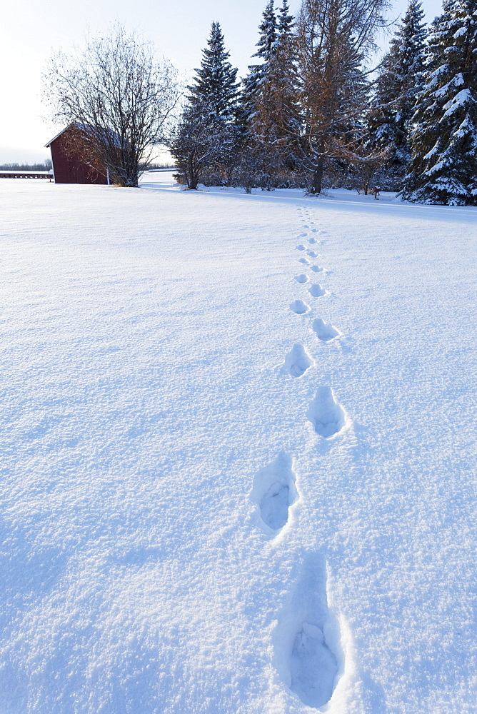 Footprints In The Snow Across A Field Leading To Trees And A Small Red Shed, Wetaskiwin, Alberta, Canada