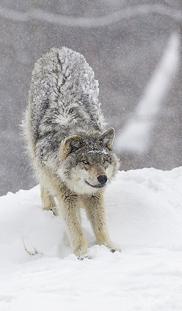Grey Wolf (Canis Lupus) Stretching Before Playing In The Snow, Montebello, Quebec, Canada