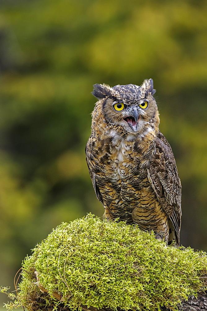 Great Horned Owl (Bubo Virginianus) Portrait, Saint-Lazare, Quebec, Canada