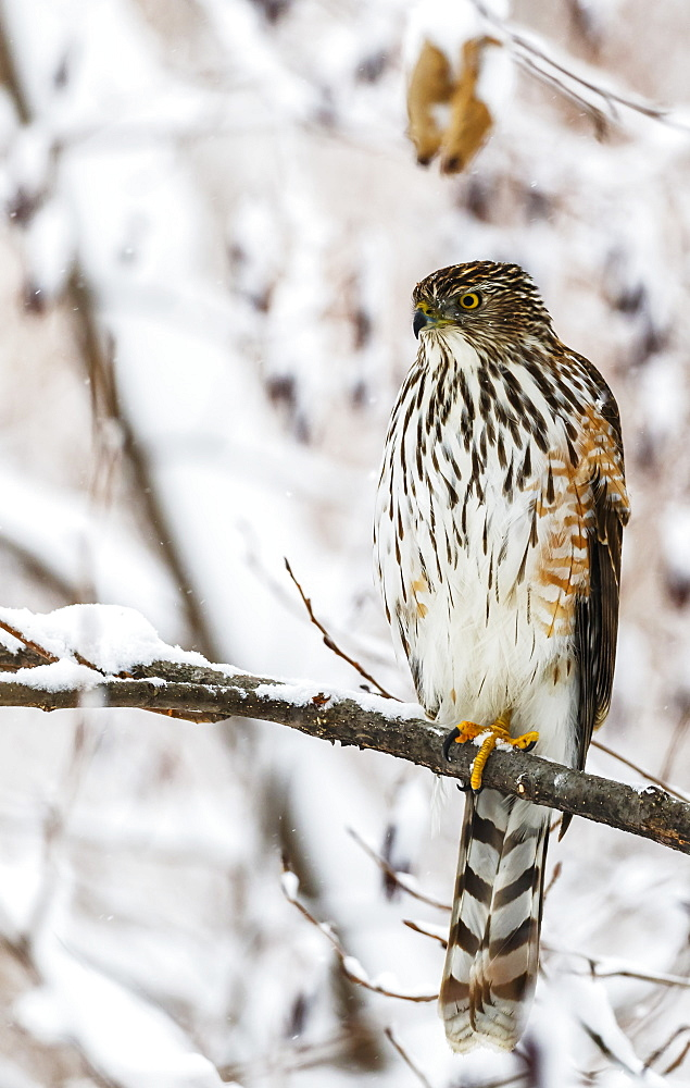 Portrait Of A Bird Sitting On A Tree Branch In Winter, Montreal, Quebec, Canada