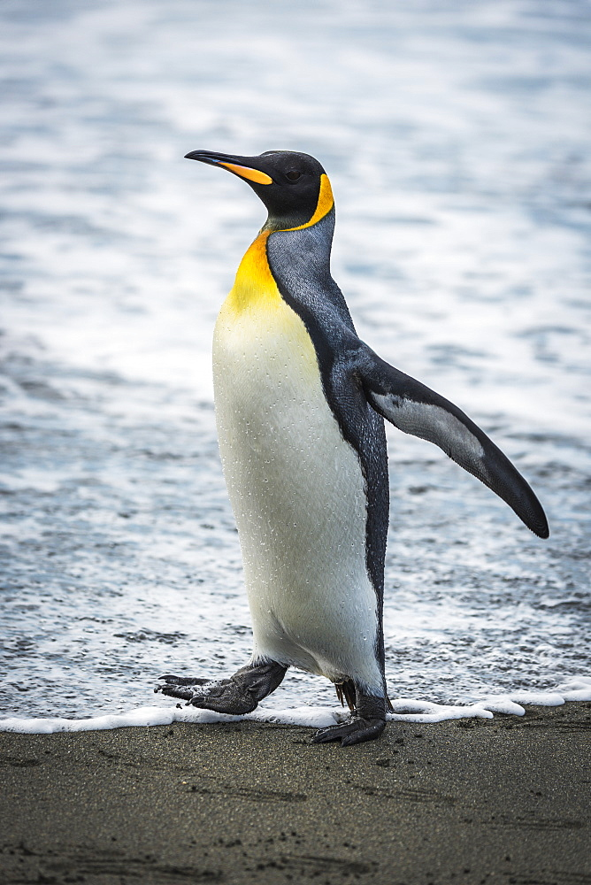 King Penguin (Aptenodytes Patagonicus) On Sandy Beach At Water's Edge, Antarctica