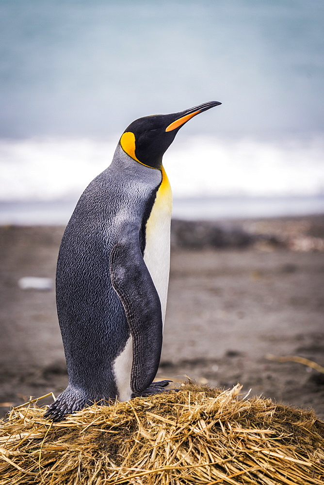 King Penguin (Aptenodytes Patagonicus) On Beach With Surf Behind, Antarctica