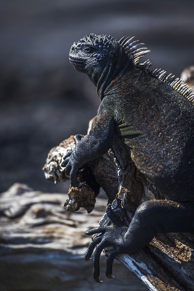 Marine Iguana (Amblyrhynchus Cristatus) Perched On A Dead Wooden Log, Galapagos Islands, Ecuador