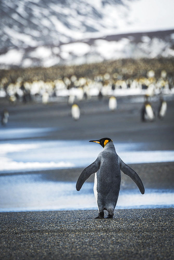King Penguin (Aptenodytes Patagonicus) Walking On Beach Towards Rookery, Antarctica