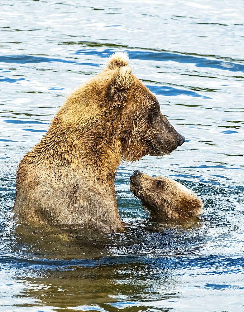 Brown Bear (Ursus Arctos) Sow Spending Time With Her Cub In The River, Alaska, United States Of America