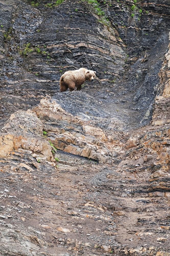 Chignik Brown Bear Climbs A Scree Slope, Southwest Alaska