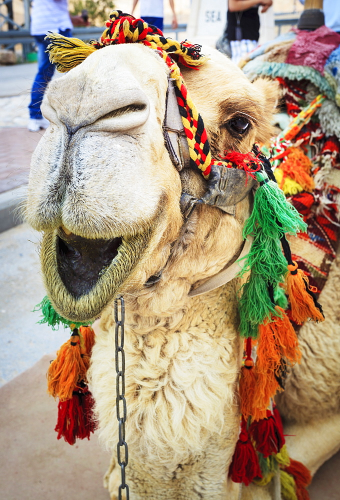 A Camel Decorated In Colourful Tassels, Jerusalem, Israel