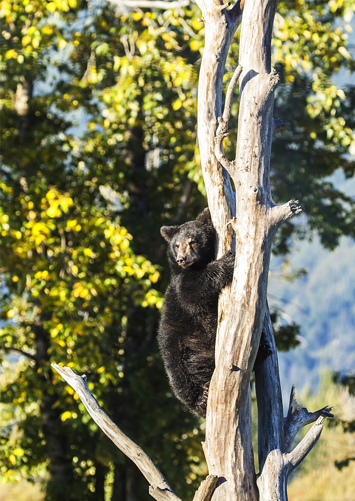 Black Bear Cub (Ursus Americanus) Climbing A Tree, Alaska Wildlife Conservation Center, South-Central Alaska, Portage, Alaska, United States Of America