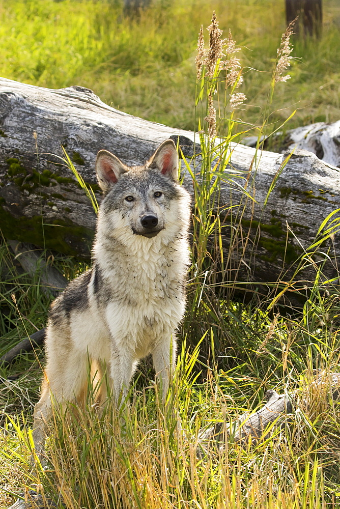 Immature Female Wolf (Canis Lupus), Captive At The Alaska Wildlife Conservation Center, Portage, Alaska, United States Of America