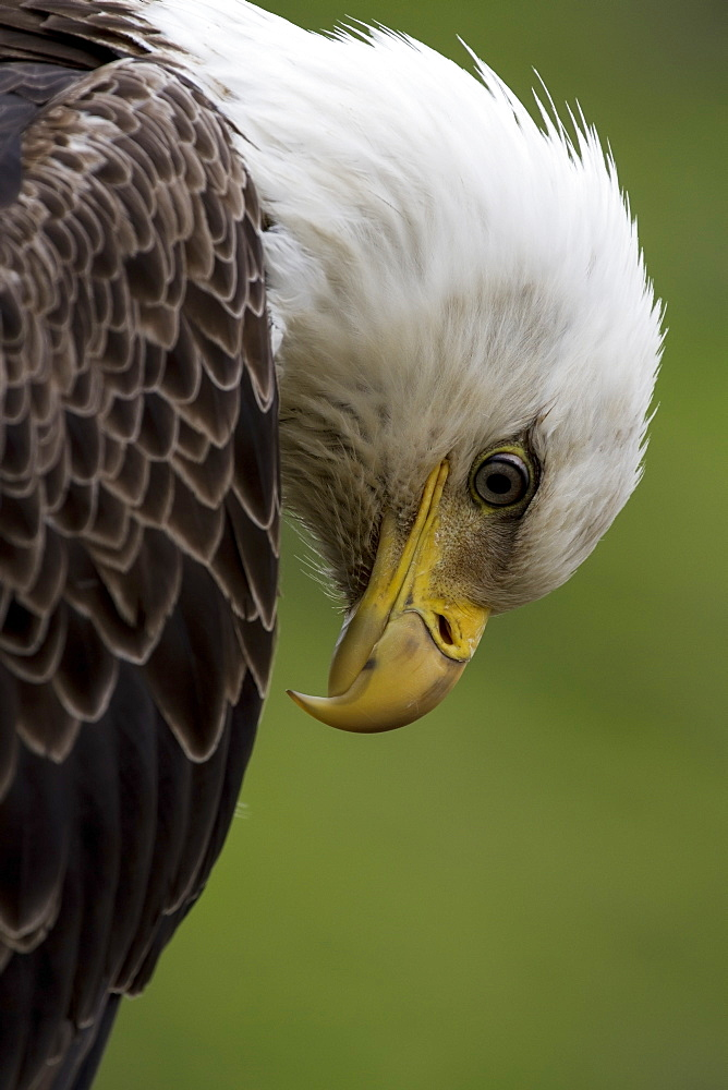 Close Up Of The Head And Beak Of A Bald Eagle (Haliaeetus Leucocephalus), Unalaska, Alaska, United States Of America