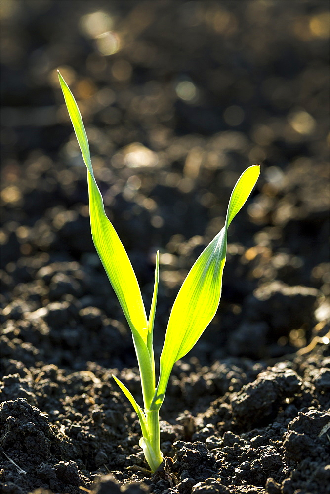 Close Up Of A Barley Seedling In Dark Soil At The Two Leaf Stage, Calgary, Alberta, Canada