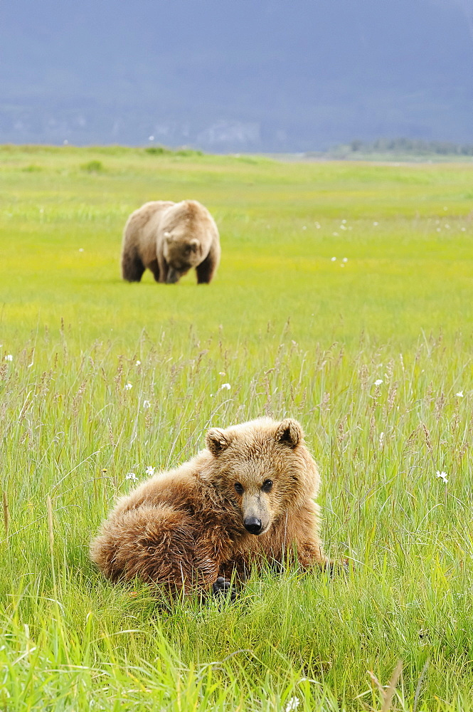 Brown Bear (Ursus Arctos) And Yearling Cub, Katmai National Park, Alaska, United States Of America
