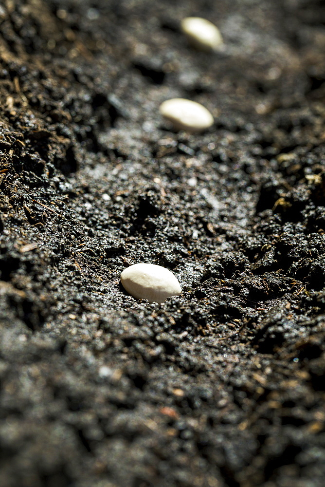 Close Up Of White Bean Seeds Planted In The Soil, Calgary, Alberta, Canada