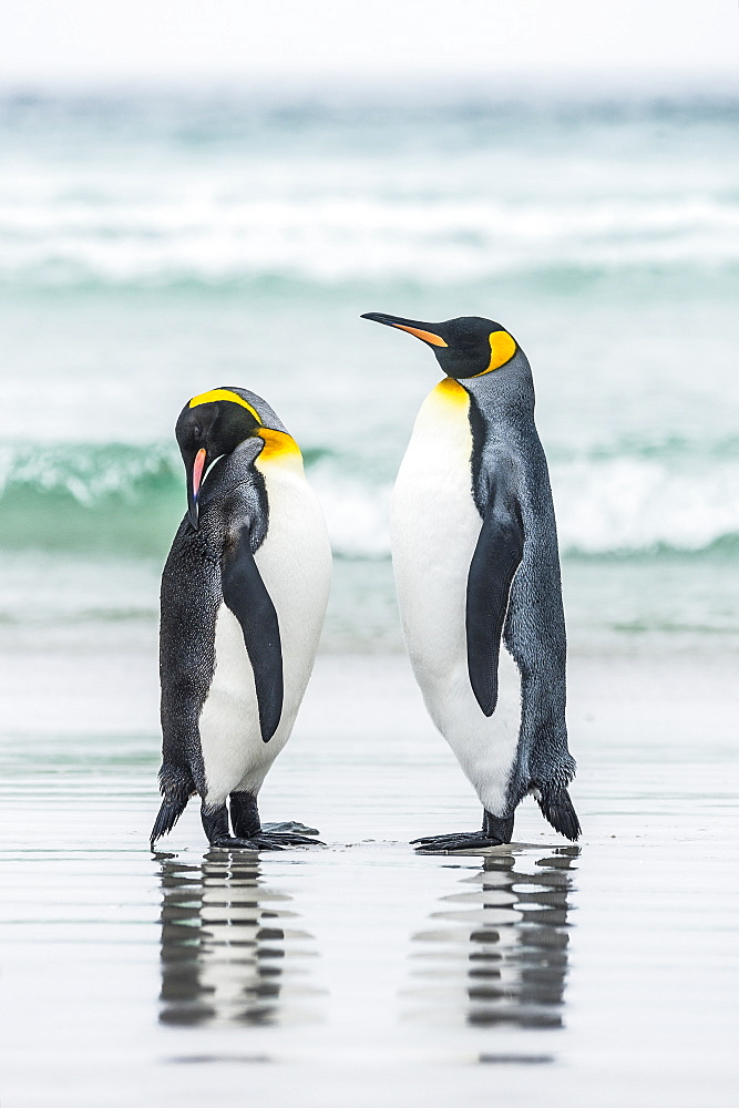 King Penguins (Aptenodytes Patagonicus) Standing Together On The Beach At The Water's Edge - 1116-46499