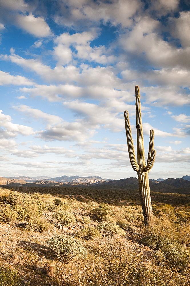 Saguaro (Carnegiea Gigantea) Cactus And Landscape, Arizona, United States Of America