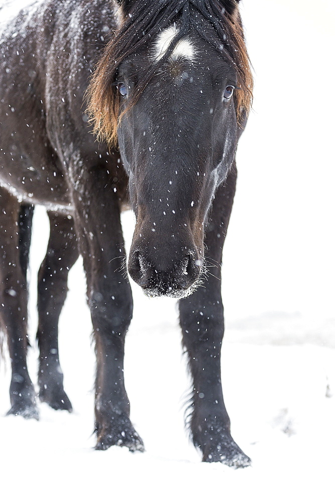 Curious Mustang Peers Towards The Camera While Standing In A Snowy Field During A Snowfall, Turner Valley, Alberta, Canada