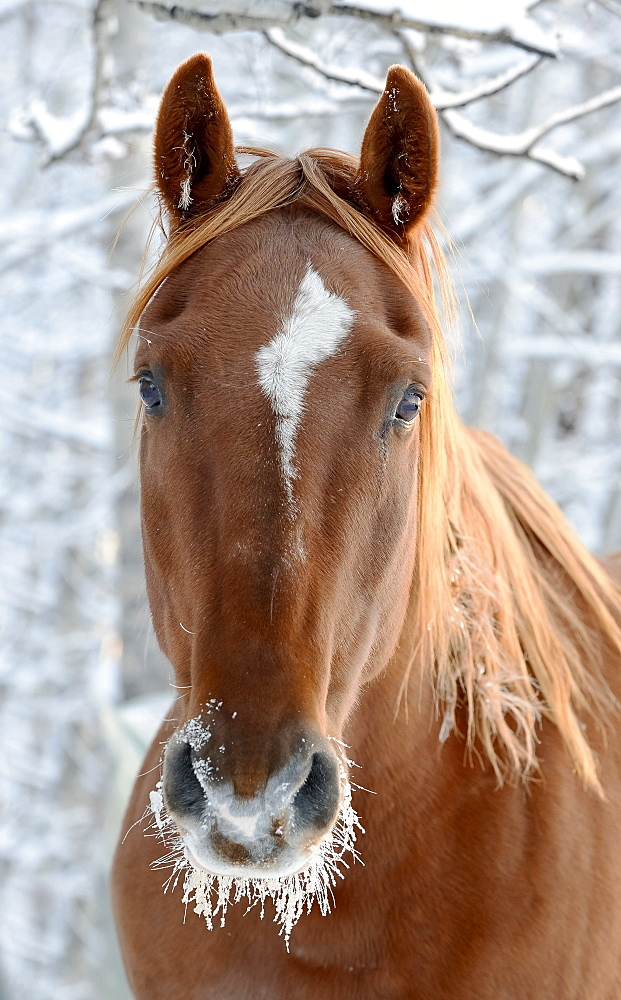 Horse With Frost Around It's Mouth, Cremona, Alberta, Canada