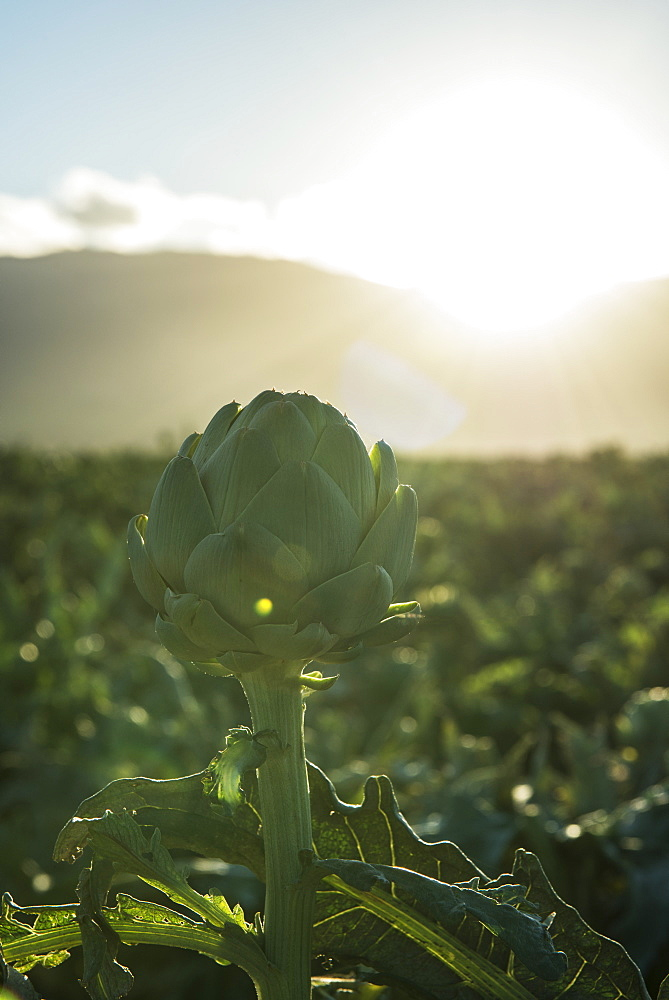 Artichoke In Field, Gonzales, California, United States Of America