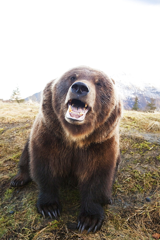 Captive Adult Brown Bear (Ursus Arctos) Looks At Camera With Mouth Open At The Alaska Wildlife Conservation Center, Portage, Alaska, United States Of America