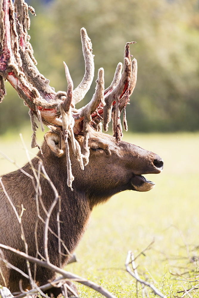 Bull Elk (Cervus Canadensis) Shedding Velvet, Captive At The Alaska Wildlife Conservation Centre, Portage, Alaska, United States Of America