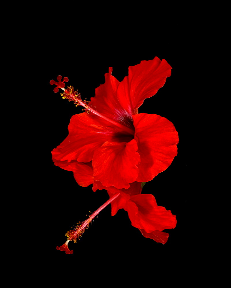 Close Up Of A Red Hibiscus Flower On A Black Background, Maui, Hawaii, United States Of America