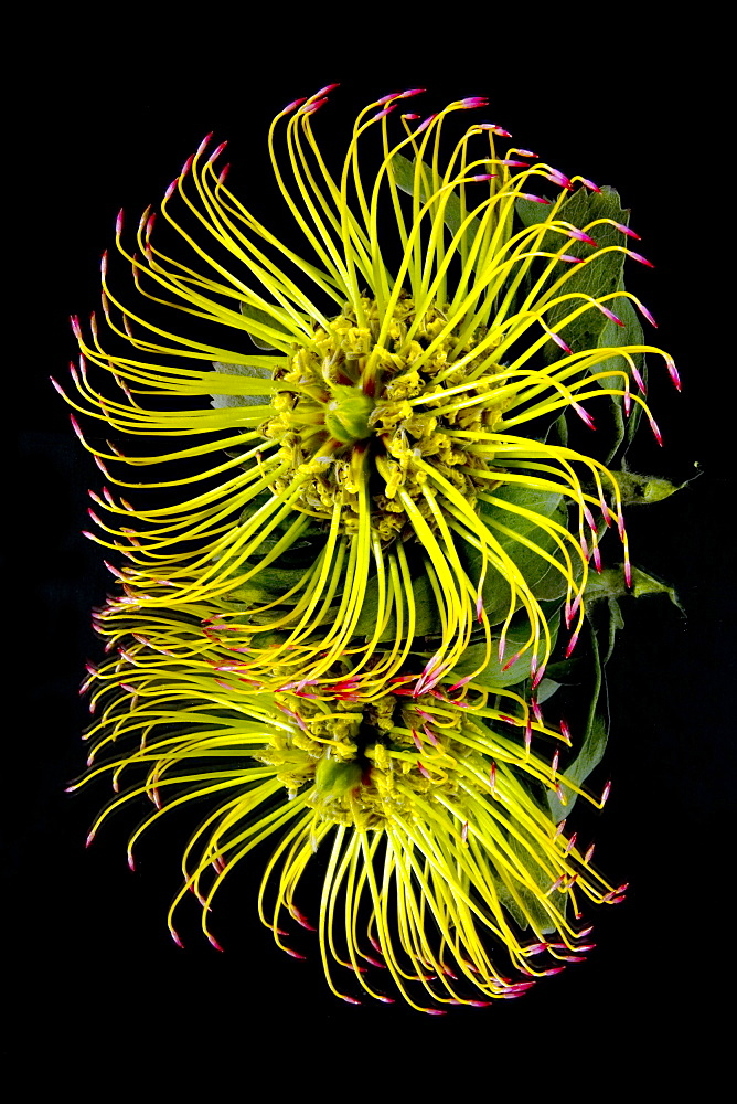 Close Up Of A Unique Tropical Flower On A Black Background, Hawaii, United States Of America