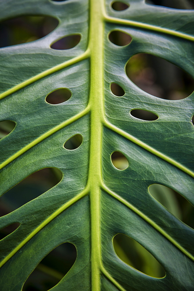 Close Up Of A Green Leaf With Holes In It, Hawaii, United States Of America