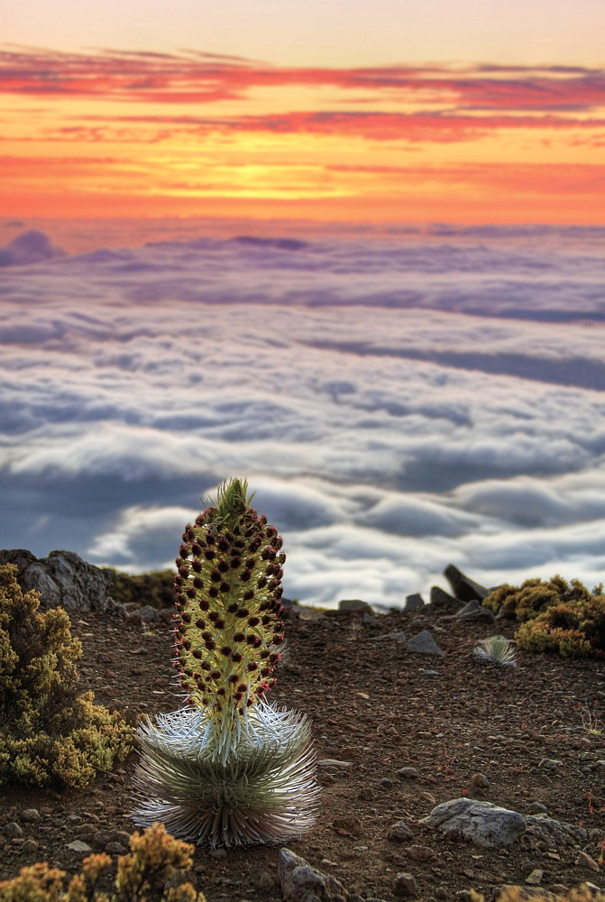 Silversword Plant (Argyroxiphium Sandwicense) At Sunset, Maui, Hawaii, United States Of America