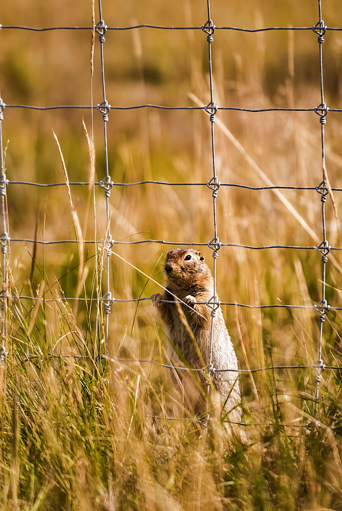 Arctic Ground Squirrel (Spermophilus parryii) behind a fence in a field looking through the grid to the other side, Yukon, Canada