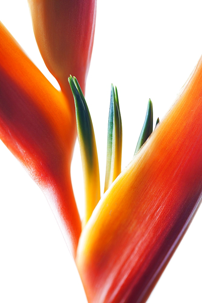 A macro close-up of a beautiful orange and yellow Heliconia flower against a white background, Honolulu, Oahu, Hawaii, United States of America