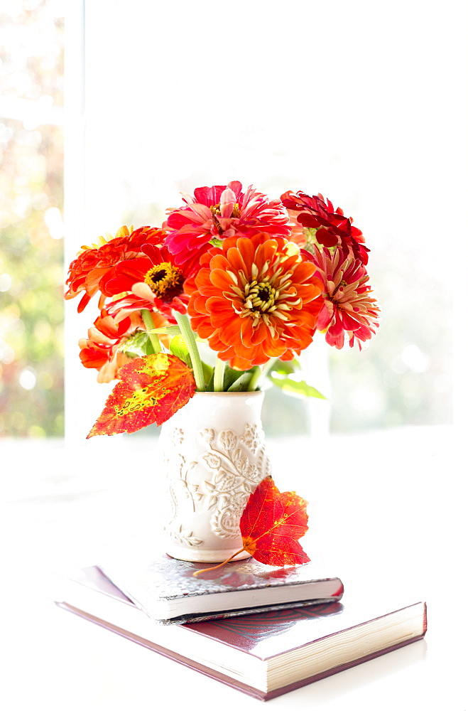 Zinnia's Composed On A Lovely Wide Window Sill, Surrey, British Columbia, Canada