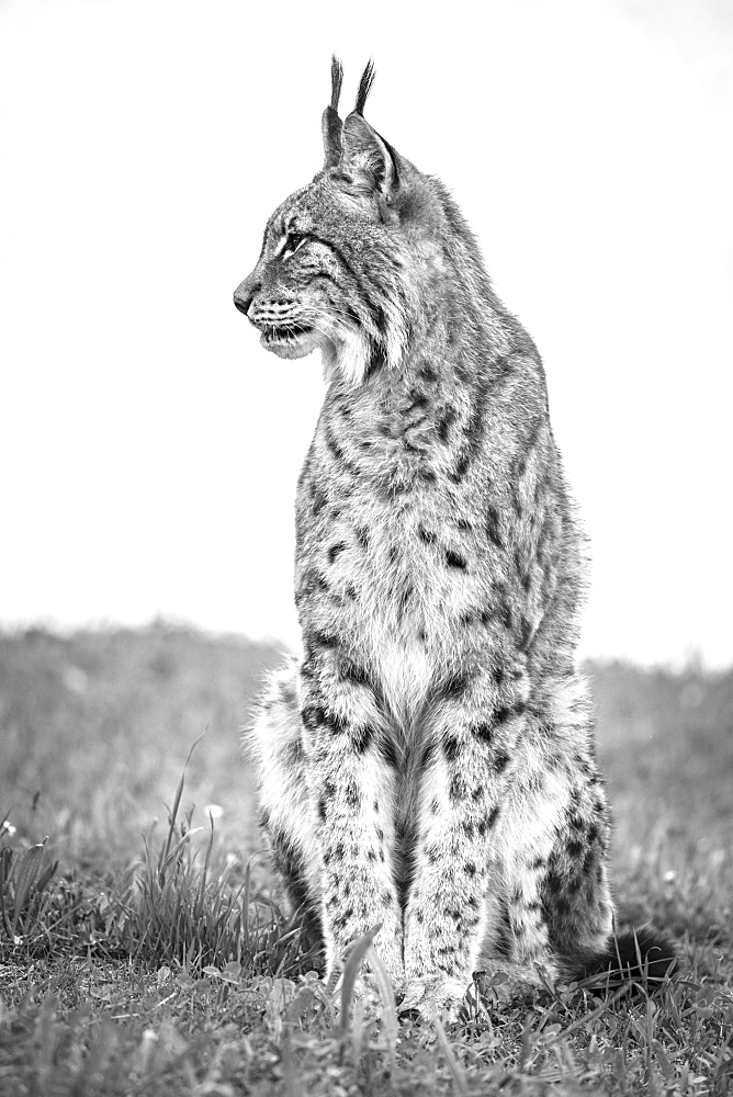 Canada Lynx (Lynx Canadensis) Sits On Grass Looking Sideways, Cabarceno, Cantabria, Spain