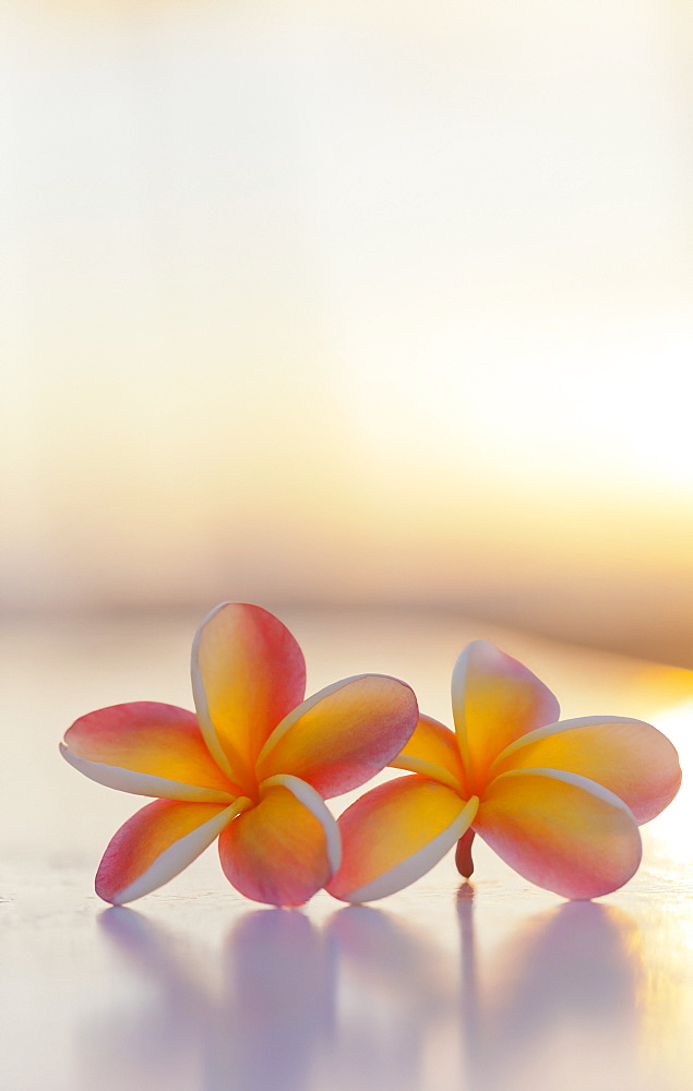 Close-Up Of A Pair Of Beautiful Yellow And Pink Plumeria Flowers (Apocynaceae) With Sunset Lighting The Background, Honolulu, Oahu, Hawaii, United States Of America