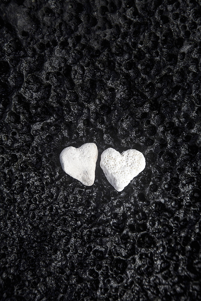 Two White Coral Heart Shaped Rocks Placed Together On A Wet Lava Rock Near The Ocean, Honolulu, Oahu, Hawaii, United States Of America