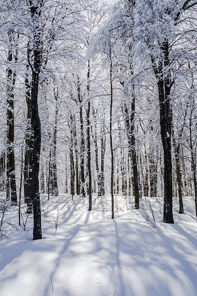 A Forest With Trees Covered In Ice And Snow, Shefford, Quebec, Canada