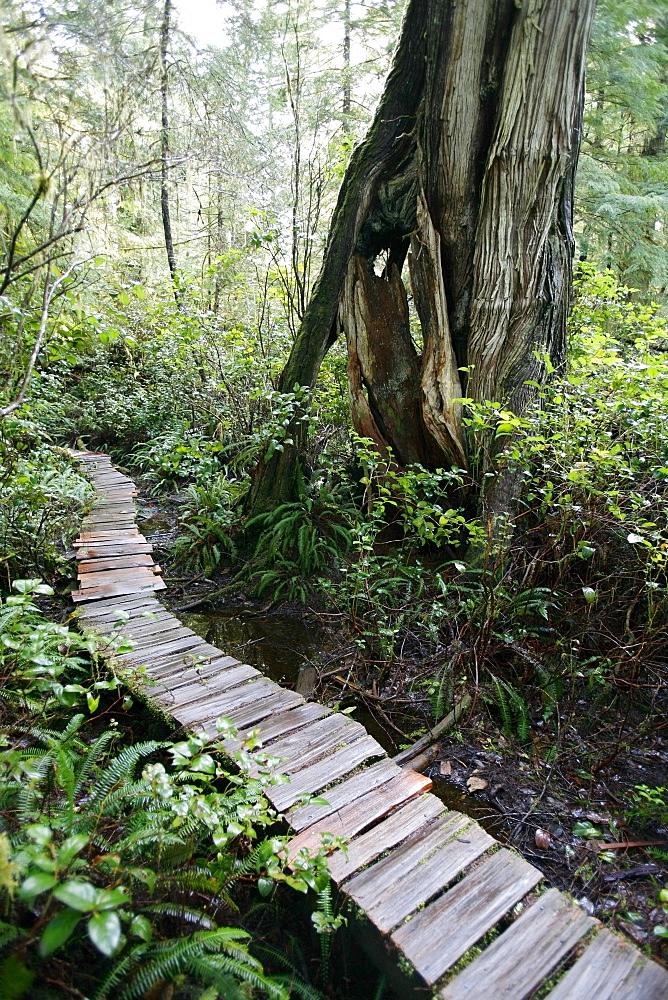 Meares Island, British Columbia, Canada; Cedar Boardwalk