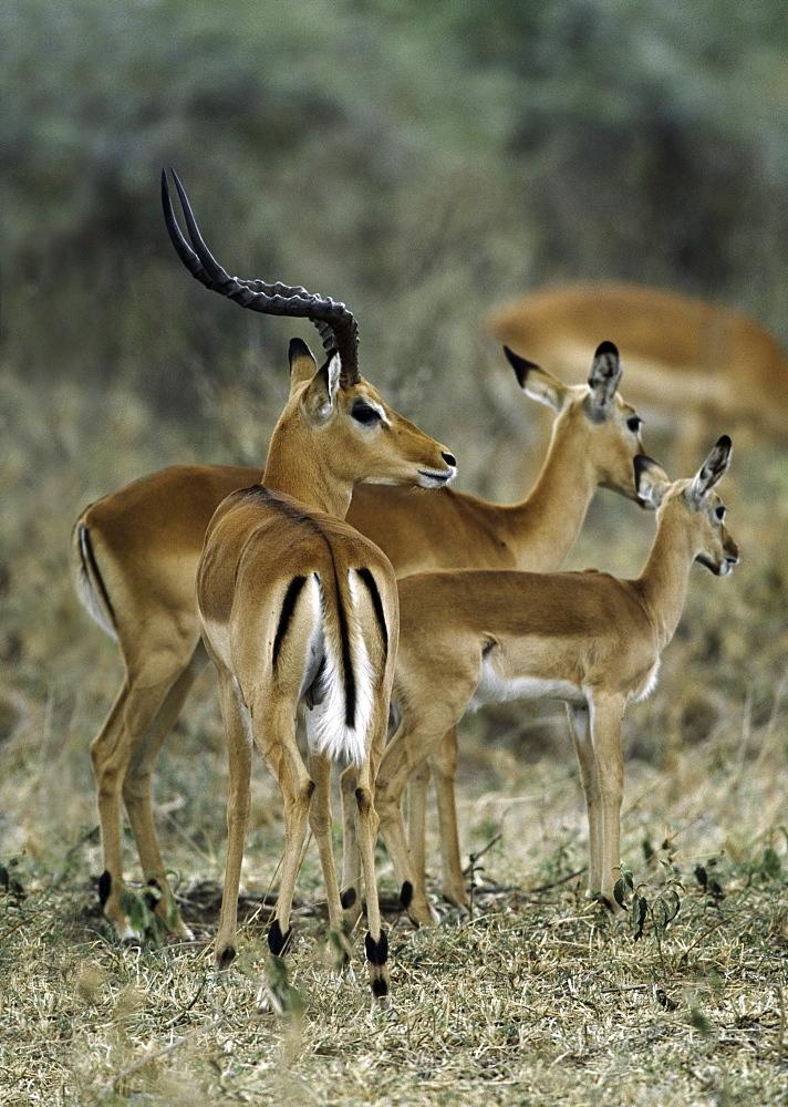 Impala Buck Guards His Harem, Serengeti National Park, Tanzania, East Africa