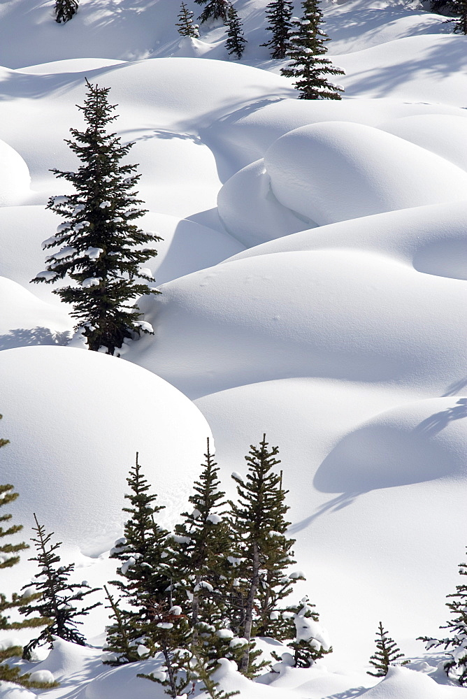 Banff National Park, Alberta, Canada; Trees In Snow Drifts At Lake Louise - 1116-6724