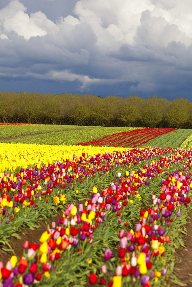 Woodburn, Oregon, United States Of America; Tulip Fields Under Storm Clouds