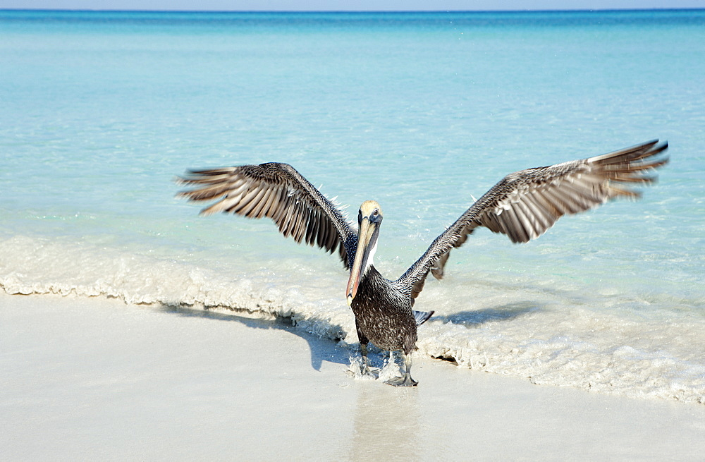 Pelican taking off from seashore